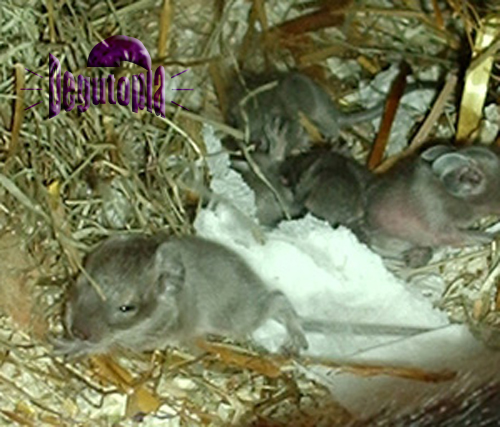 Blue Degu Pups (Julia Riedel)