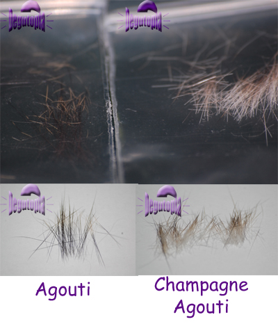 Champagne agouti hairs compared to agouti hairs
