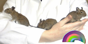 Comprehensive information regarding degu breeding