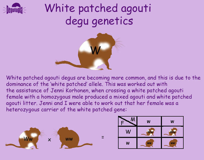 The Genetics of the White Patched Agouti Colour Degu