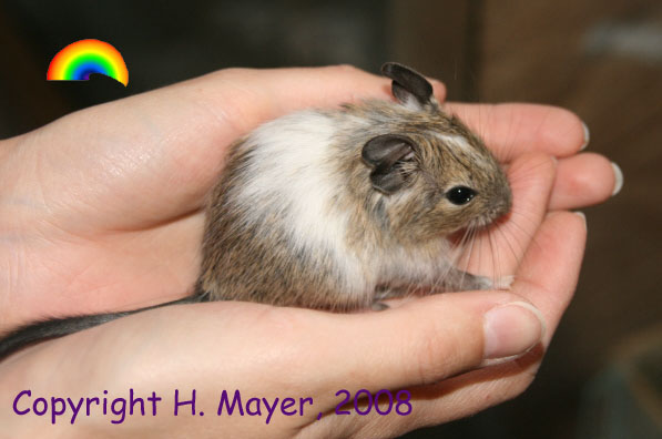 White Patched Agouti Degu Pup (Hannelore Mayer)
