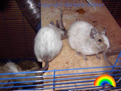 Adult White Patched Agouti Degus (Barbara Walter)