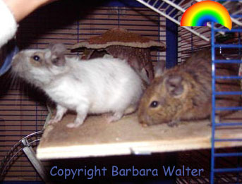 Adult White Patched Agouti Degu (Barbara Walter)