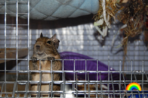 Selecting an appropriate cage is very important for your degus