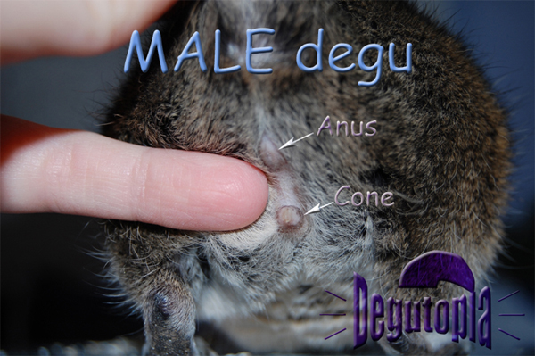 Adult Male Degu