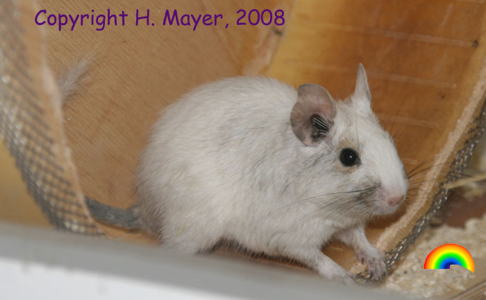 White Degu (Hannelore Mayer)