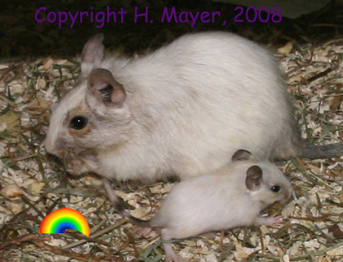 White Degus (Hannelore Mayer)