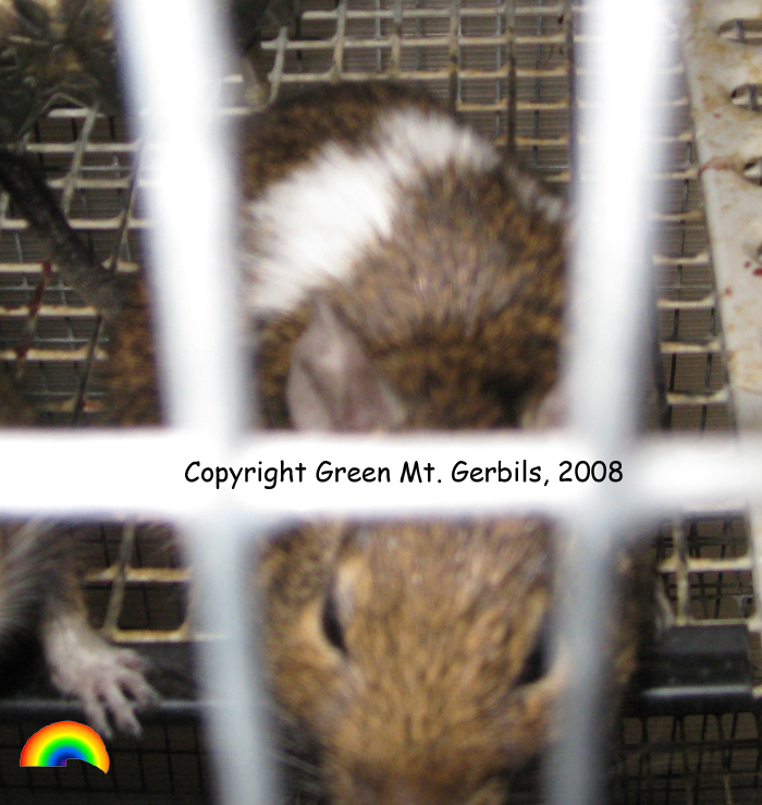 Eddy (Green Mt. Gerbils)